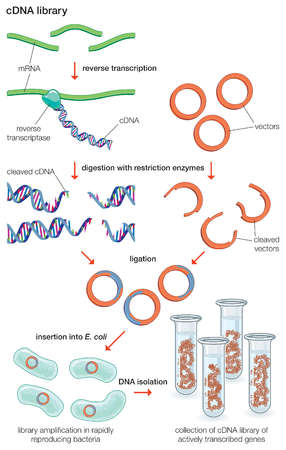 To obtain a complementary DNA (cDNA) library, mRNA molecules are treated with reverse transcriptase, which makes a DNA copy.