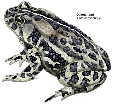 Dakota toad (Bufo hemiophrys)