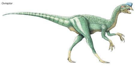 Oviraptor, 'egg thief' or 'egg robber,' late Cretaceous dinosaur. A birdlike predator with a crest and a horny beak.