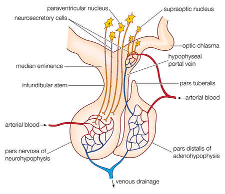 hypothalamus and pituitary glands relationship marketing