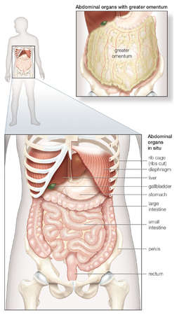 Diagram of the human abdominal cavity, showing the digestive organs in situ, as well as covered by the omentum