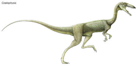 Coelophysis, a late Triassic dinosaur. A predator living in large herds, it had hollow limbs, similar to birds