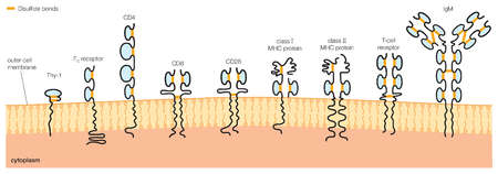 Schematic representation of some proteins of the immunoglobulin (Ig) superfamily.