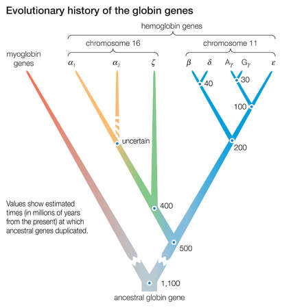 Evolutionary history of the globin genes. The dots indicate the duplication of ancestral genes, giving rise to new gene lineage.