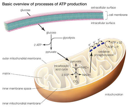 The three processes of ATP production include glycolysis, the tricarboxylic acid cycle, and oxidative phosphorylation.