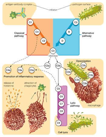 Complement proteins aid the destruction of pathogens by piercing their outer membranes or making them attractive to macrophages.