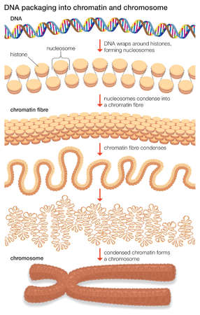DNA wraps around histone proteins to form nucleosomes, which condense into a chromatin fibre, which condenses into a chromosome.