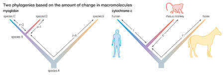 Two phylogenies based on the amount of change in macromolecules.