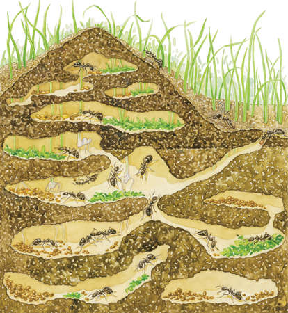 Cross-section of a harvester ant colony