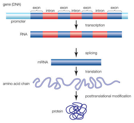 The process by which a gene is transcribed from DNA to RNA, and eventually forms a protein molecule.