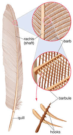 Details of a feather, showing the shaft, quill, and barbs