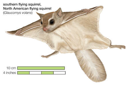North American southern flying squirrel (Glaucomys volans)