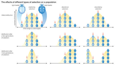 Three types of natural selection, showing the effects of each on the distribution of phenotypes within a population.