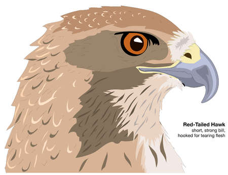 Head of a red-tailed hawk (Buteo jamaicensis)