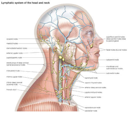 Stock Illustration - The lymphatic system of the head and neck helps ...
