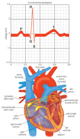 Electrocardiogram of the alternating contractions during one heartbeat and a diagram of the heart's impulse-conducting system.