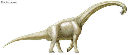 Brachiosaurus, late Jurassic to early Cretaceous dinosaur, one of the largest, heaviest and tallest dinosaurs