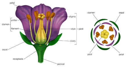 Generalized flower with parts (left); diagram showing arrangement of floral parts in cross section at the flower's base (right).