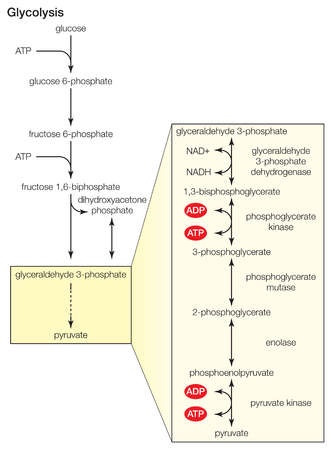 Glycolysis, the dissolution of sugar, is carried out in the cytoplasm of cells.