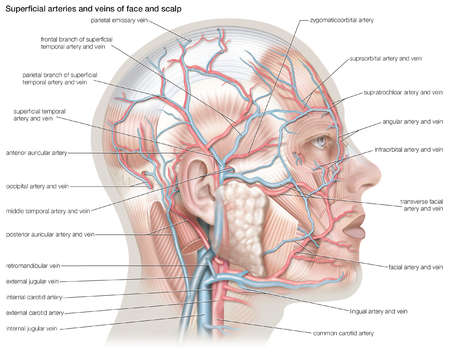 Superficial arteries and veins of the face and scalp