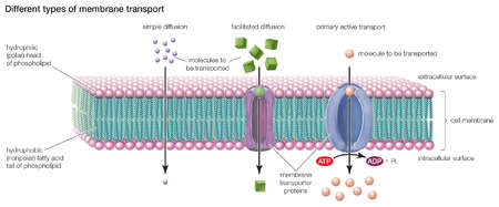 Types of transport across the cell membrane include simple diffusion, facilitated diffusion, and primary active transport.