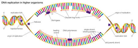 DNA replication in higher organisms begins at multiple origins of replication and progresses in two directions.