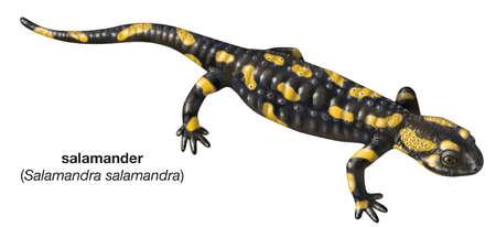 Common fire salamander (Salamandra salamandra)