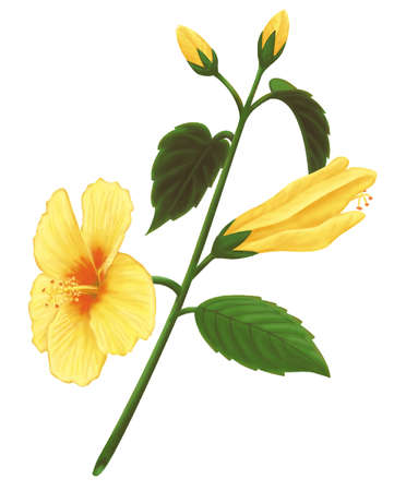 Stock Illustration Drawing Of A Yellow Hibiscus The State Flower