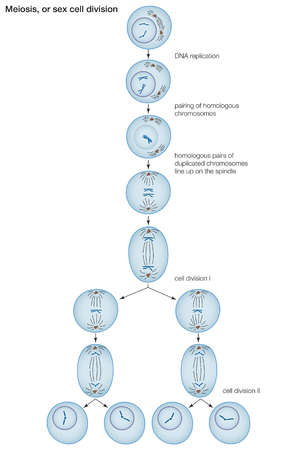 Stock illustration stages in the process of meiosis cell division stages in the process of meiosis cell division among sexually reproducing organisms ccuart Image collections