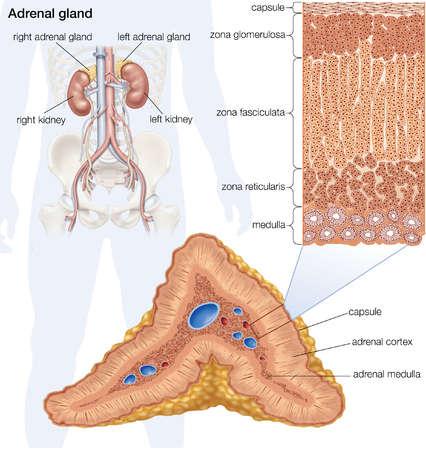 The human adrenal gland.