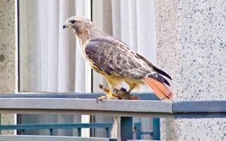 Hawks on Campus
