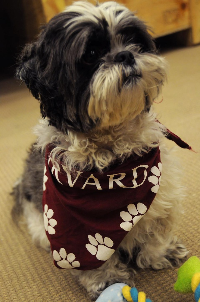 Cooper, a registered therapy dog, is swagged out at the Harvard Medical School's Countway Library on Tuesday and Thursday afternoons.