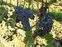 Villa I Tatti Grapes