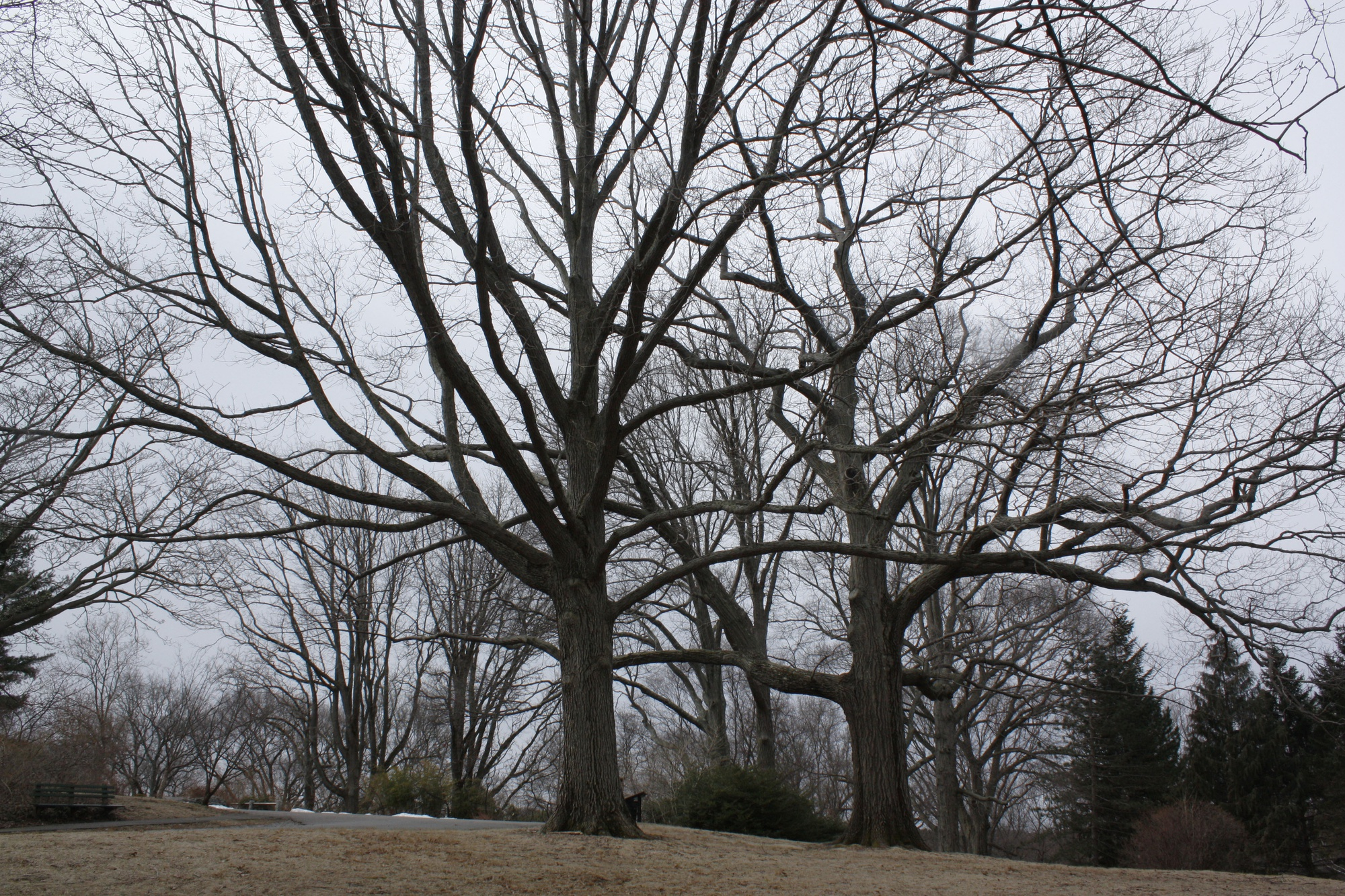 Schuett Oaks stand at the top of Bussey Hill at the Arnold Arboretum in Boston.