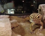 Laddy the Leopard Gekko