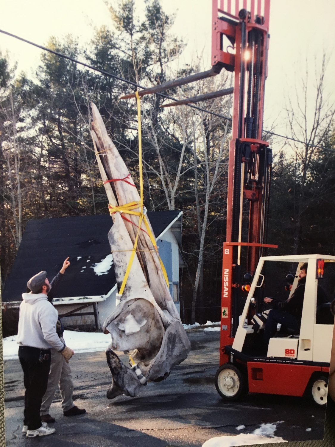 A whale skull being prepared for storage at Concord in the late 1990s.