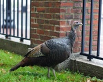 Harvard Turkey