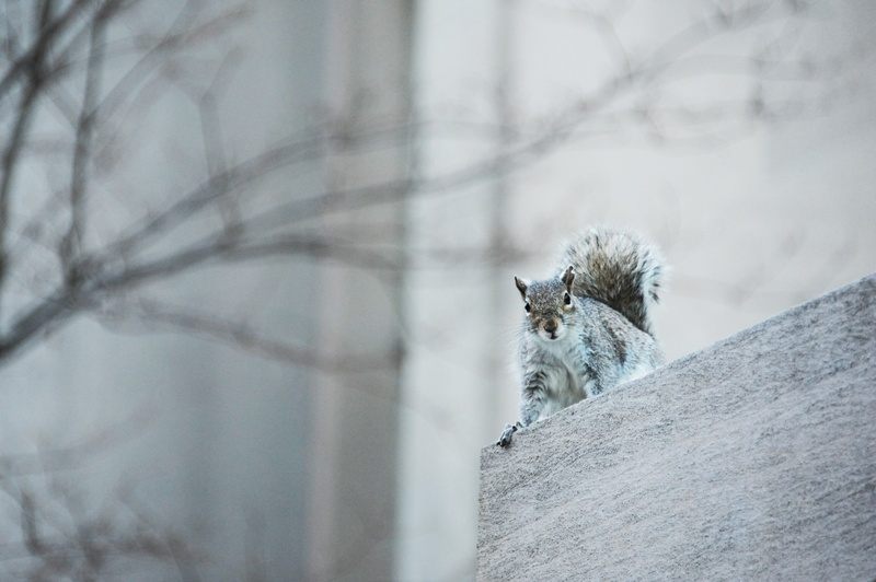 Squirrels of Harvard