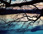 Branches by the Charles