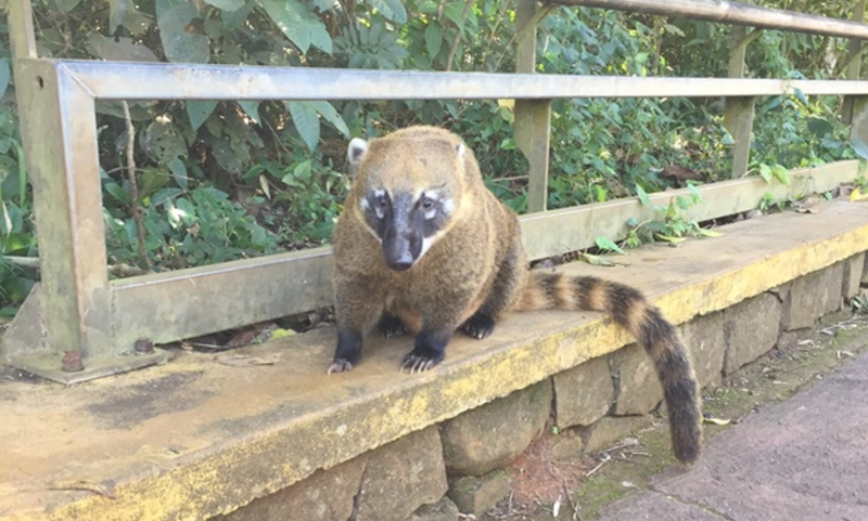 Thus Spoke the Coatis