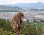 Monkey at Iwatayama