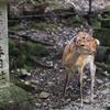 Deer at Kasuga Taisha