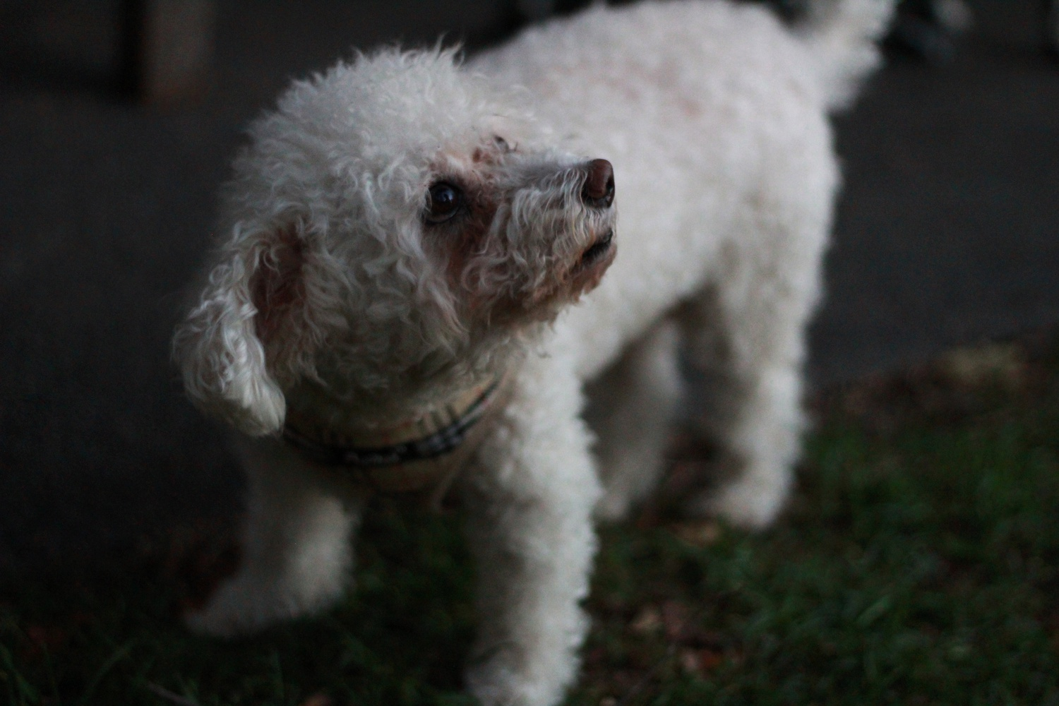 A dog toddles around Leverett House's McKinlock Courtyard Tuesday evening.