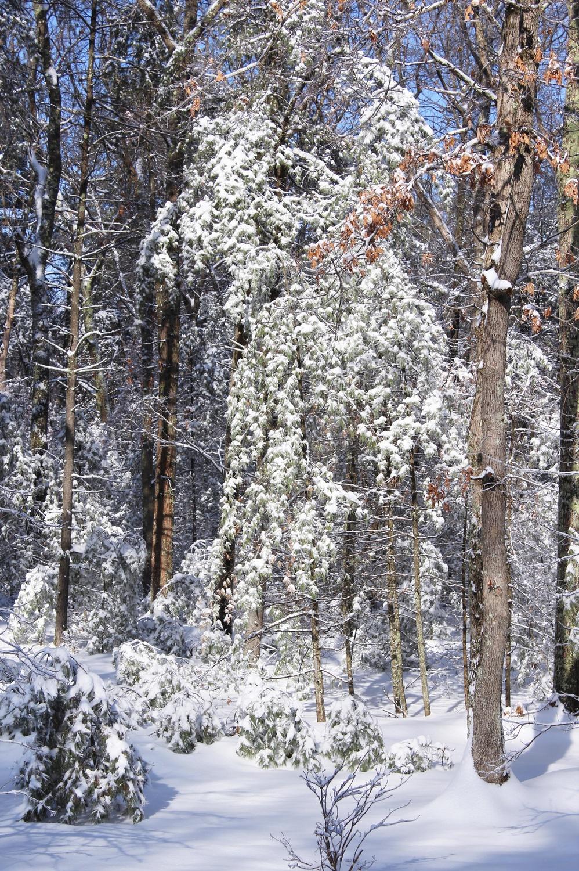 白雪覆盖的树