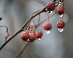 Berries and Raindrops