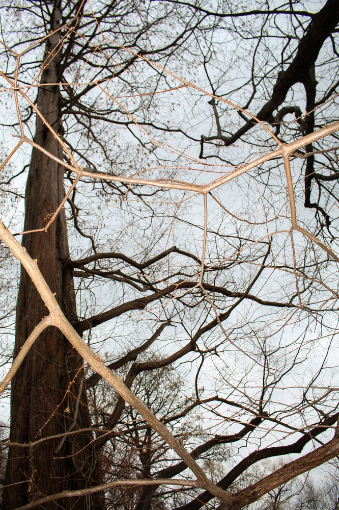 The branches of the metasequoia extend upwards.