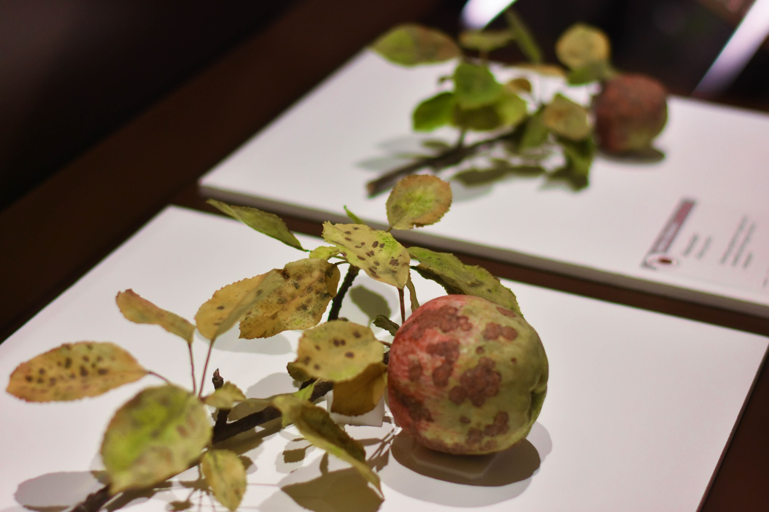 Models of rotten apples made from wax and glass are intended, according to their creator, to showcase the beauty that a supposedly spoiled object can hold.