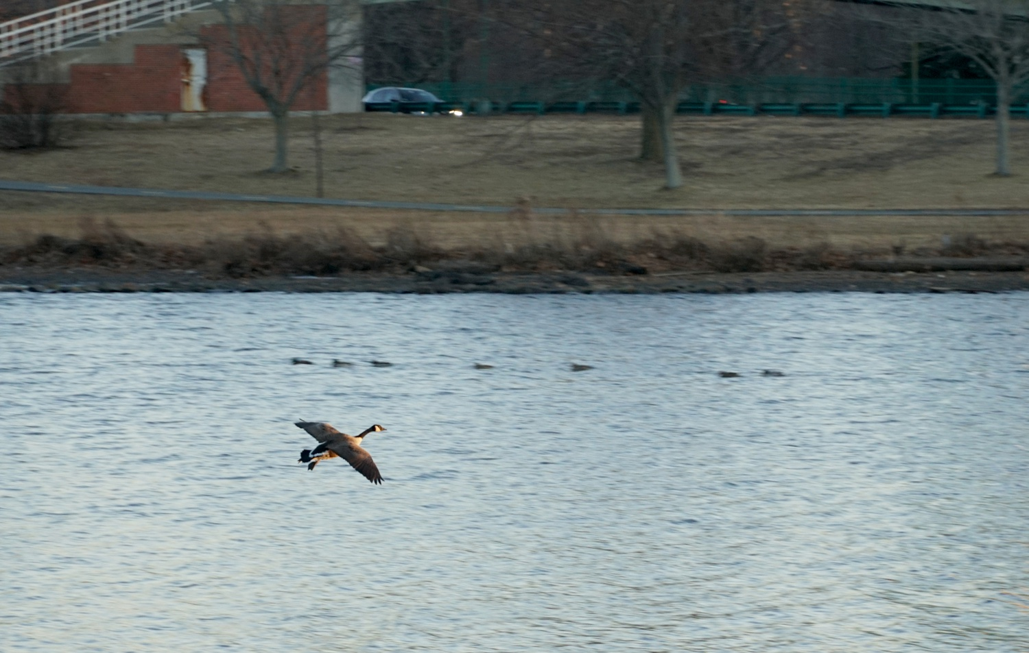 A goose flies above the Charles River on a windy Wednesday afternoon.
