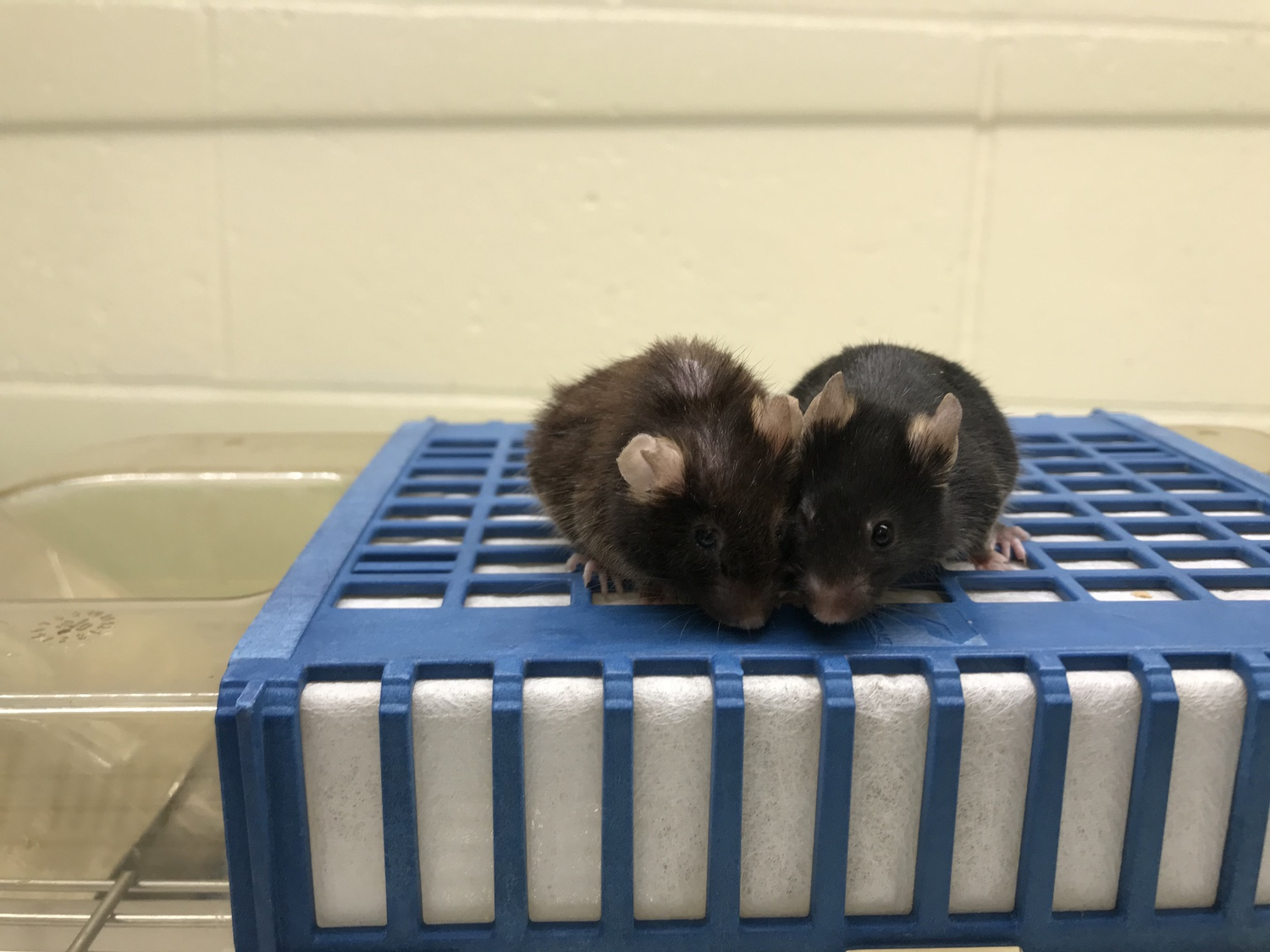 HMS researchers were able to predict the mice's lifespans with a small margin of error.
