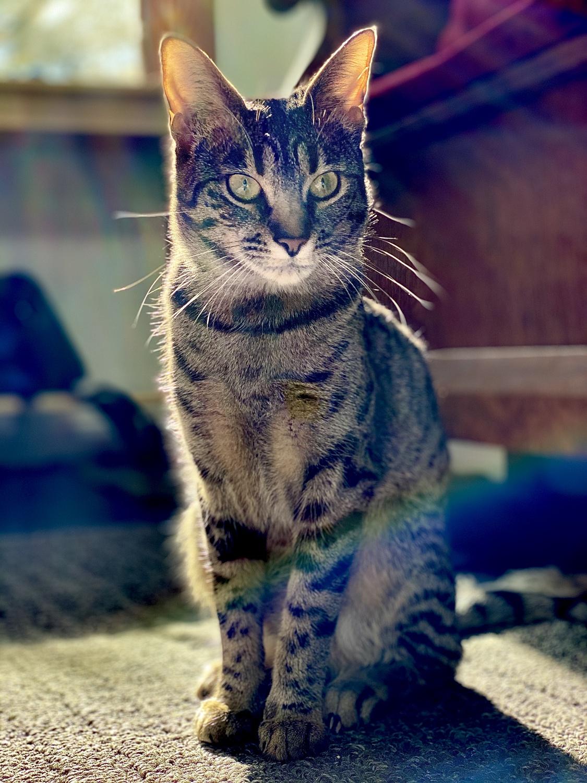 Jiji, one of Talia M. Blatt's two cats, in the sunlight.
